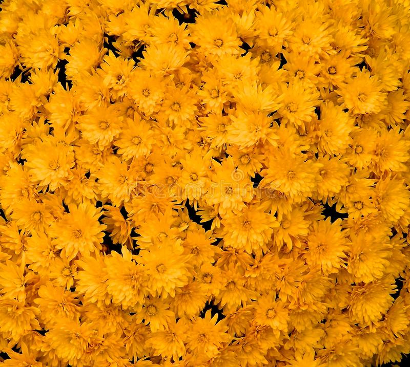 Only yellow flower stock image