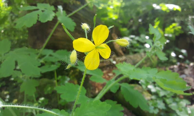 Yellow flower. Beautiful flower garden royalty free stock photography