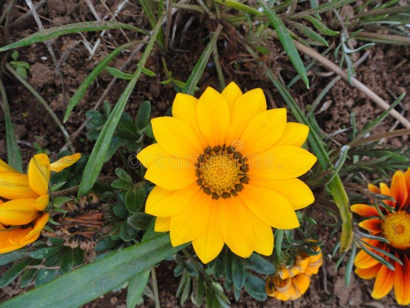 Yellow folwer, Himalaya mountains, India. Yellow flower, with beautiful petals Himalaya mountains, India stock photo