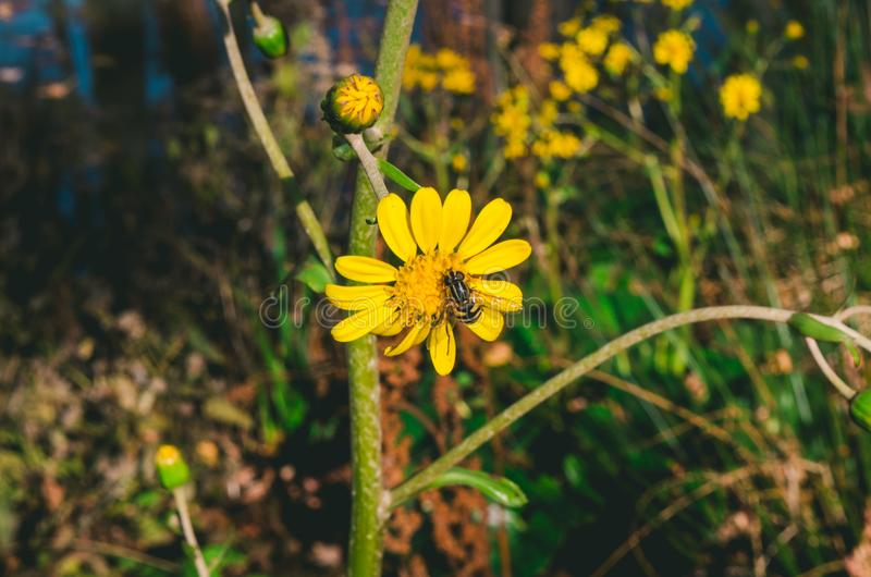 Yellow Flower With Bee stock images