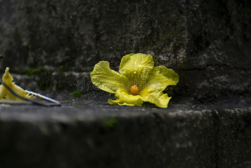 Yellow Flower Laying on Ground. Yellow Flower of Bitter Gourd Vine  Laying on Ground some water droplets are also visible royalty free stock images