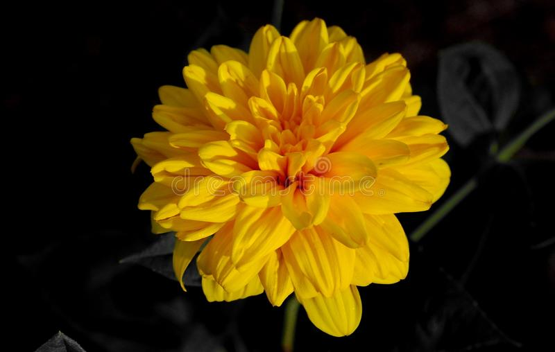 Yellow flower with black background. Photography of yellow flower with dark background royalty free stock photos