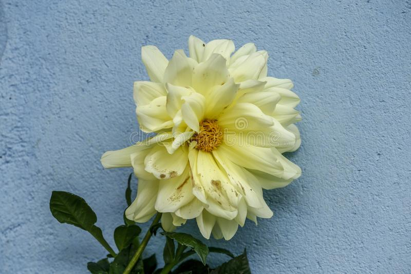 Yellow flower on blue wall royalty free stock image