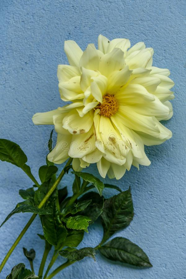 Yellow flower on blue wall stock photos