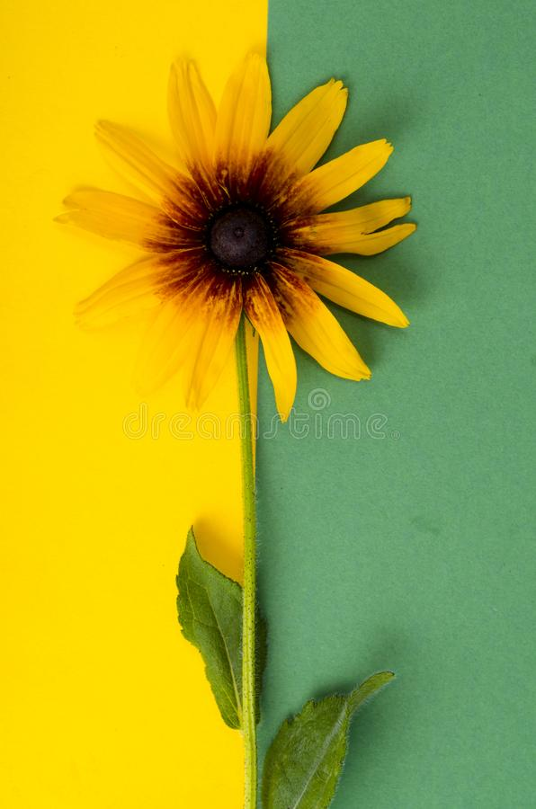 Yellow flower on bright paper background. Photo. Yellow flower on bright paper background. Studio Photo stock images