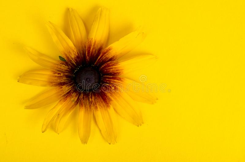 Yellow flower on bright paper background. Photo. Yellow flower on bright paper background. Studio Photo stock photography