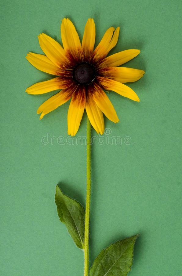 Yellow flower on bright paper background. Photo. Yellow flower on bright paper background. Studio Photo royalty free stock photography