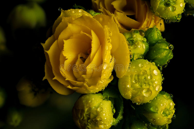 Yellow flower and buds. With droplets stock image