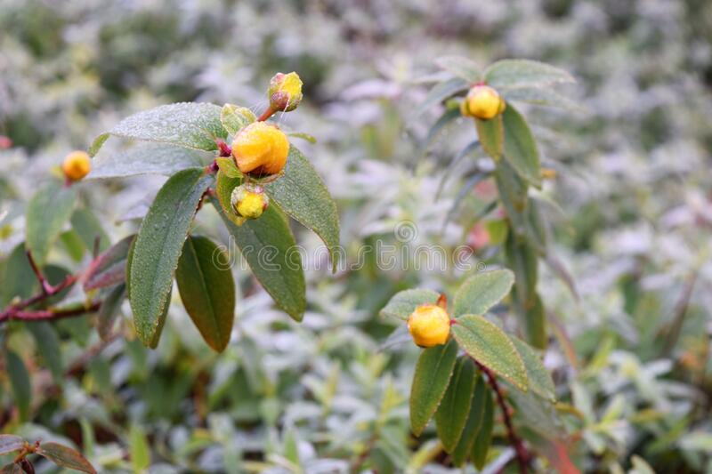Yellow flower buds in wintertime. Yellow flower buds  evening primroses in January on frosty soil royalty free stock photo
