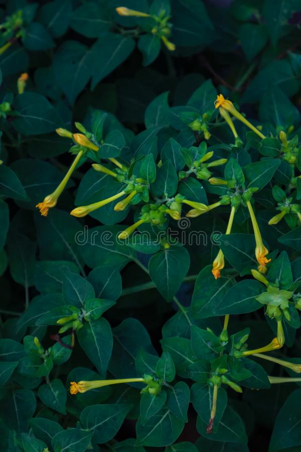 Yellow flower buds. With green leaves stock photo