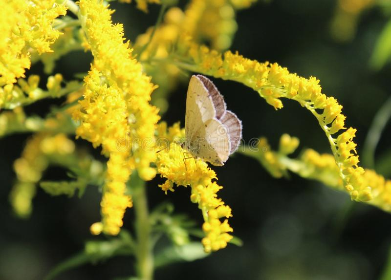 A yellow flower and a butterfly royalty free stock photo