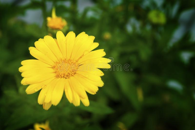 Yellow flower close-up on the background of a green flowerbed stock image