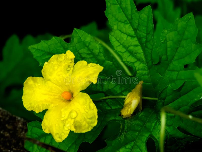 Yellow flower. Close up of beautiful yellow flower with green leaves background and rain drops, water drops on flower. Bitter gourd flower royalty free stock images