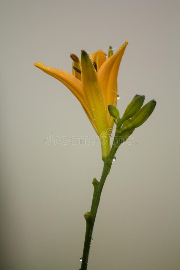 Yellow flower is closeup royalty free stock photos