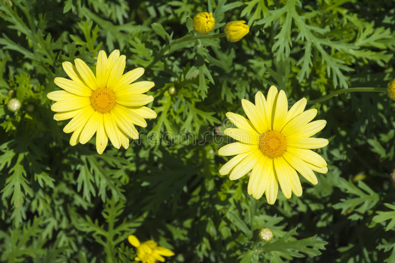 Yellow Flower. Closeup of yellow flowers on a green background composed of leafs stock photography
