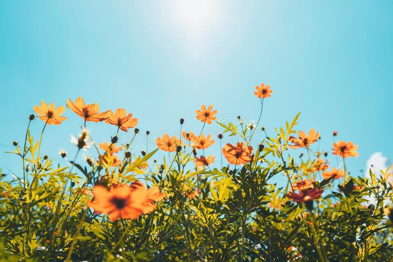 Yellow flower cosmos bloom with sunshine and blue sky background stock photography