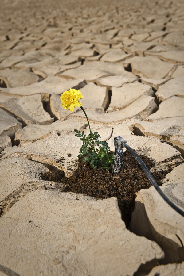 Download Yellow Flower Cracked Soil Irrigation Royalty Free Stock Image - Image: 15397676