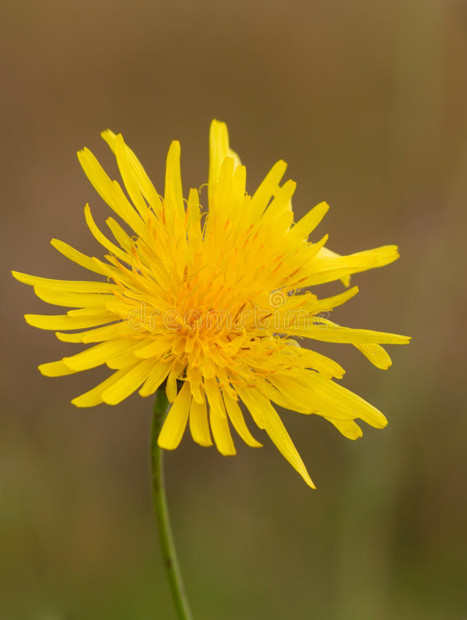 Yellow flower of a dandelion stock images