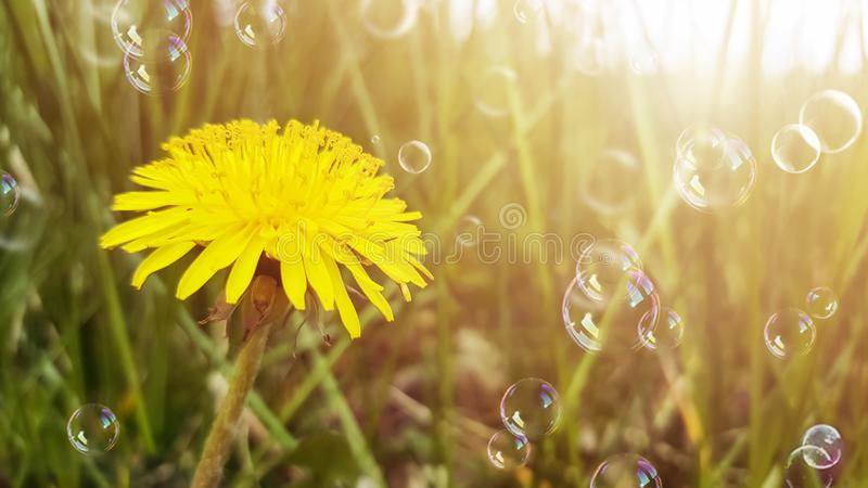 Yellow flower, dandelion, and dreen grass in sunlight. Soap bubbles floating in the air. Blurred natural abstract background royalty free stock photos
