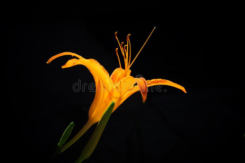 The yellow flower in the dark stock image