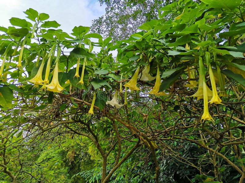 Yellow Flower datura, Speaker flower royalty free stock image