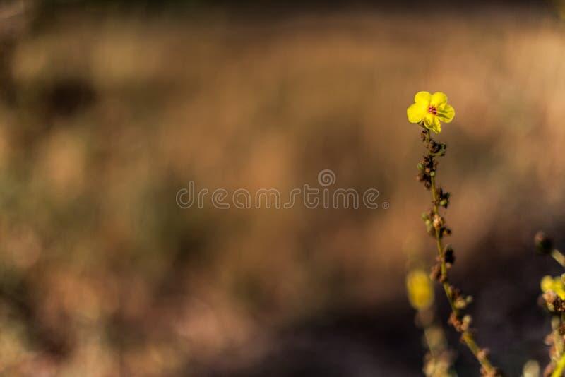 Yellow flower on defocused background. Yellow flower on defocused brown background royalty free stock image