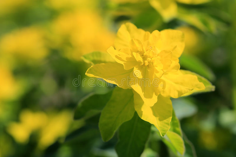 Yellow Flower of Euphorbia Polychroma at Spring royalty free stock image