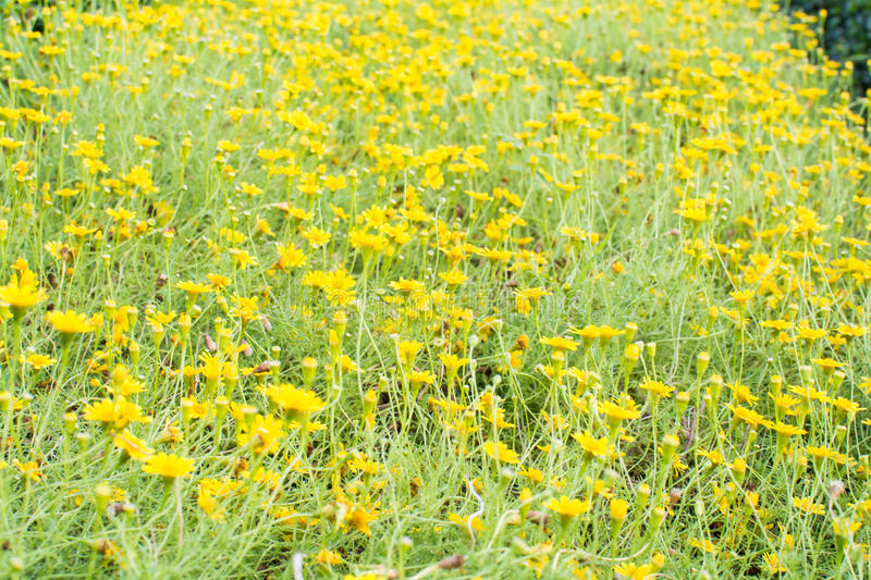 Yellow flower field background stock photo