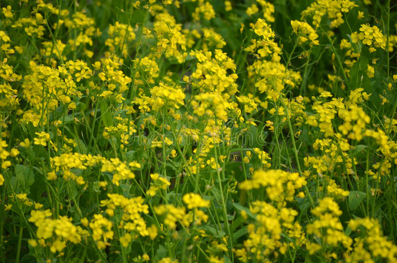 Yellow flower in field royalty free stock photography
