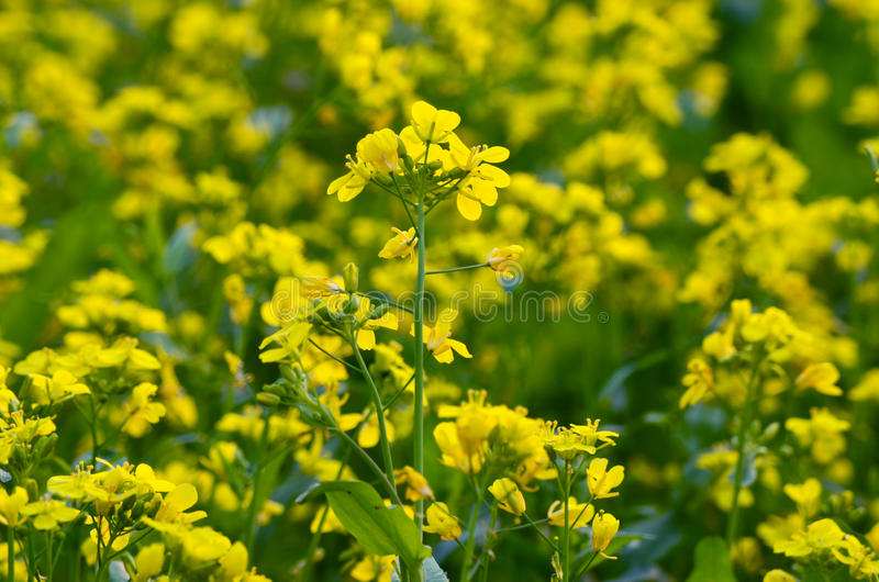 Yellow flower in field royalty free stock image