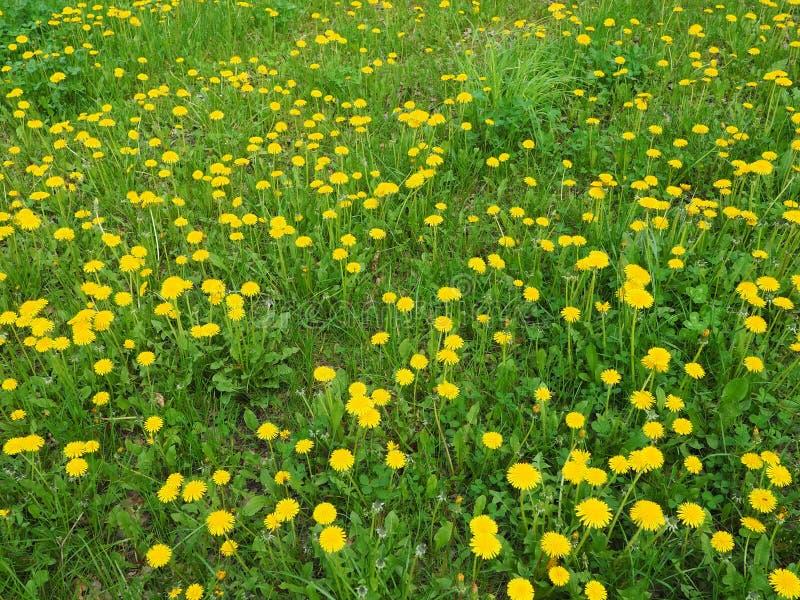 Yellow flower field of dandelions stock photo