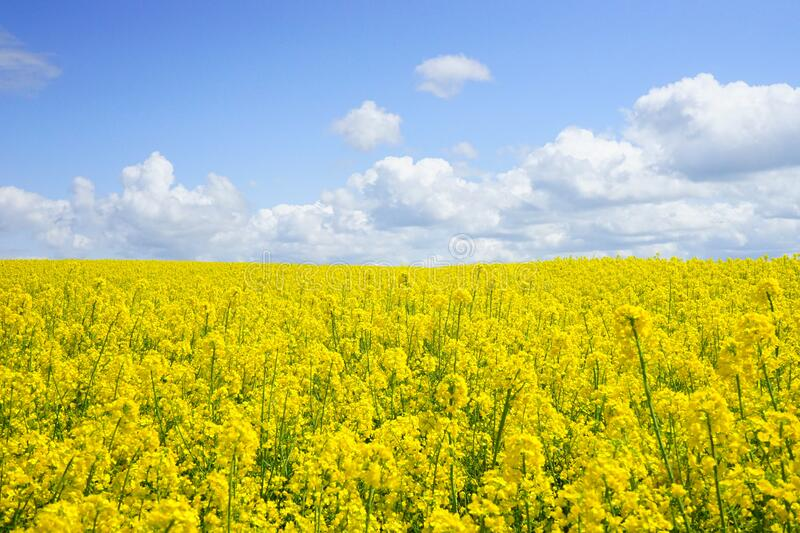 Yellow Flower Field Under Blue Cloudy Sky during Daytime royalty free stock photos