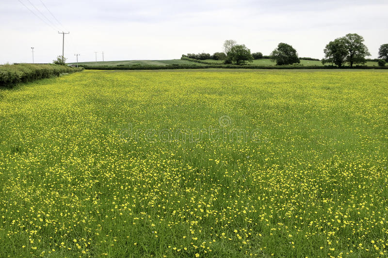 Yellow flower field in Whaley Bridge. stock images
