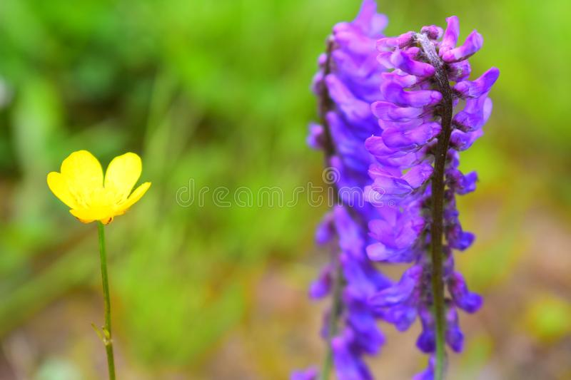 Yellow flower of five petals purple flower is a lot of petals stock download yellow flower of five petals purple flower is a lot of petals stock photo mightylinksfo