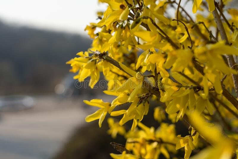 Yellow flower of Forsythia bush. Easter tree, close-up royalty free stock photo