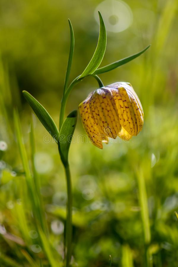 Yellow flower Fritillária meleágris. In a forest glade royalty free stock photos