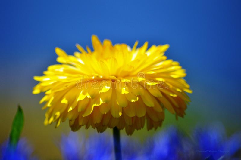 Yellow Flower in front of a beautiful Blue Sky stock photography