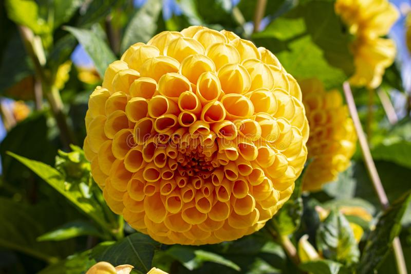 Yellow Dahlia. stock photos