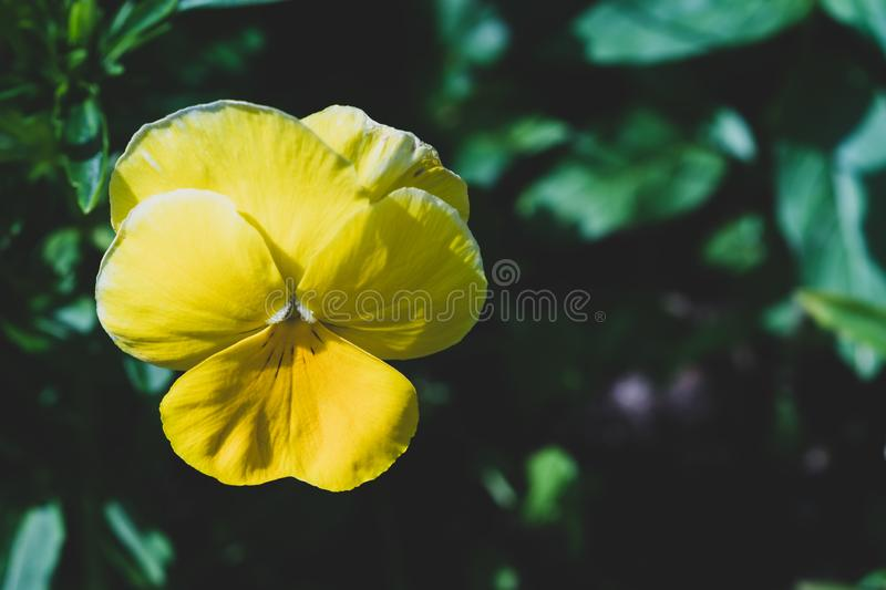Yellow flower in the garden. floral nature background. Yellow flower in the garden. floral background, beautiful, colorful, fresh, green, natural, nature, plant royalty free stock images