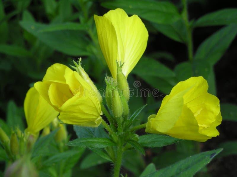 Yellow flower in garden stock images