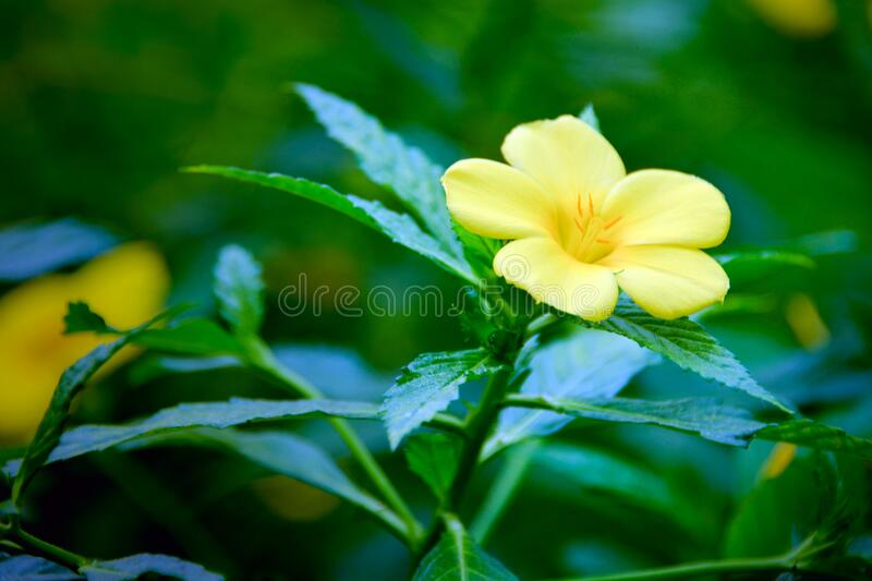 Yellow flower at the garden. Tropical flora. Blossoming Golden Trumpet Vine after the rain. Yellow flower at the garden. Tropical flora. Golden Trumpet Vine royalty free stock images