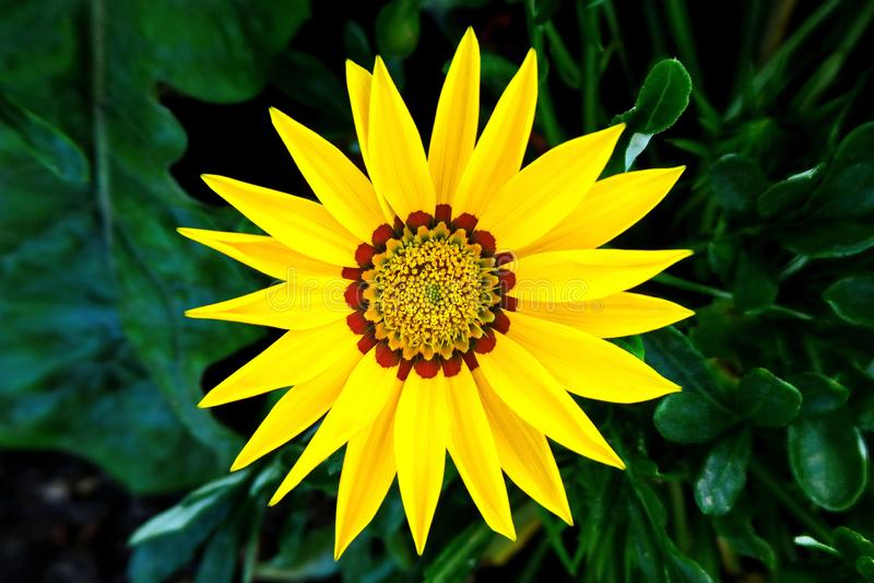 Yellow Flower Gazania Linearis. Beautiful Photo of Yellow Flower Gazania Linearis Blooming in the City Park royalty free stock images
