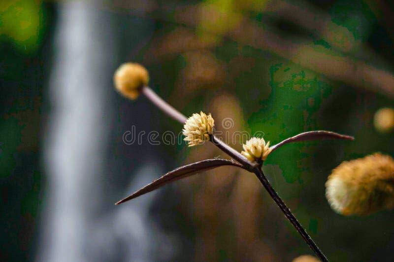 Yellow flower in ginger waterfall garden stock photos