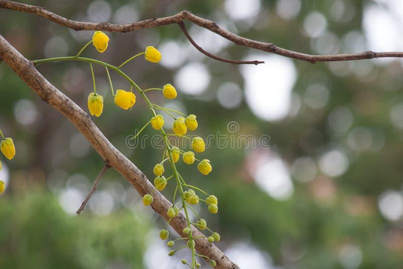 Yellow flower of Golden shower Cassia fistula stock photography