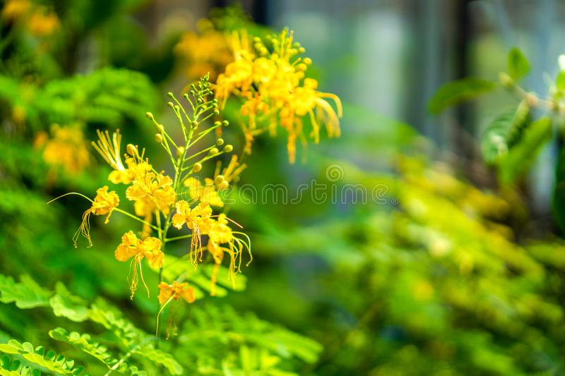 Yellow flower on the green blur leaf background in the garden royalty free stock photo