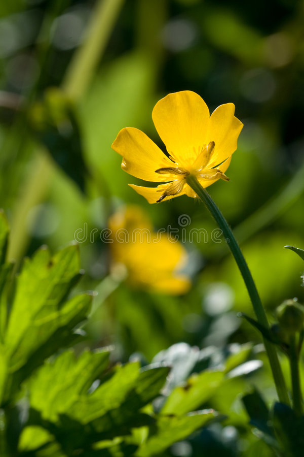 Download Yellow Flower And Green Grass Stock Photo - Image: 6072086