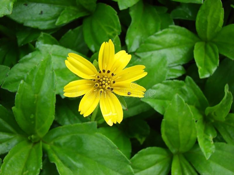 Yellow Flower and Green Leaves stock image