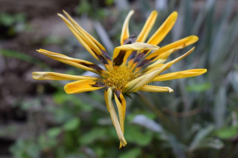 Yellow Flower. With Gress and soil stock images