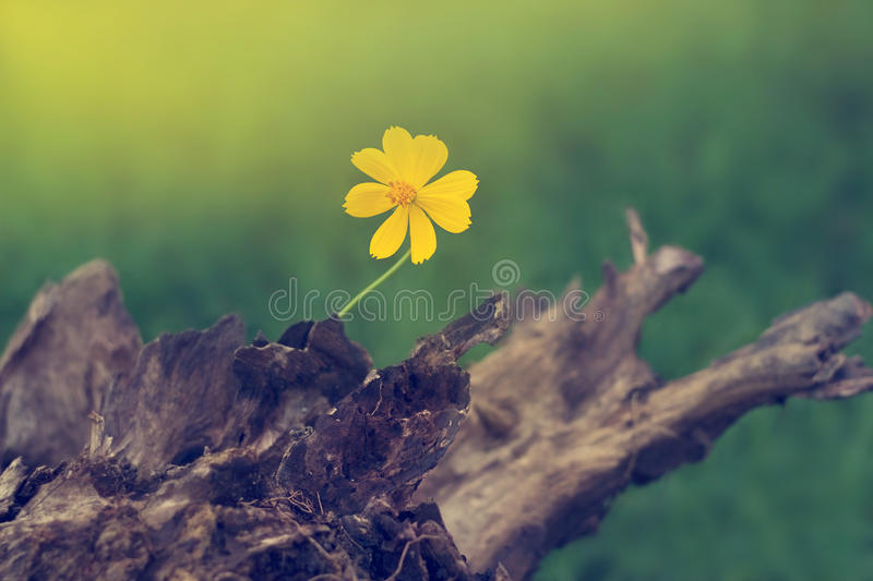 Yellow flower growing on timber in nature background. Yellow flower growing on timber in green nature background royalty free stock photo