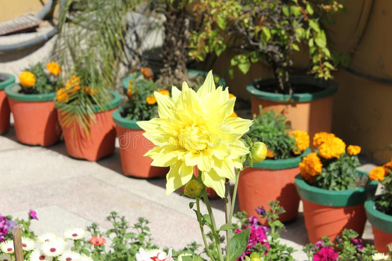 Yellow flower grows in north india.  stock photo